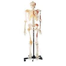 Human Skeleton (Rangka Manusia Menggambarkan Skeleteon)