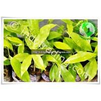 Distributor Bibit Gaharu (Agarwood) Aquilaria Malaccensis Kalimantan 3