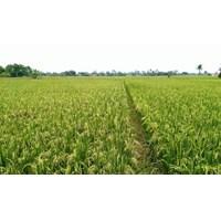 Jual Benih / Bibit Padi Parekujang Kemasan 5 Kg Non-Subsidi 2