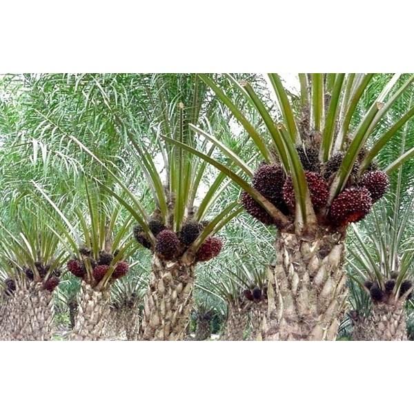 Npk Kujang 30-6-8 Fertilizer Non-Subsidized Compound Fertilizer