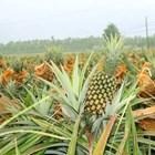 Npk Fertilizer Tablet Fertilizer Non-Subsidized Plant Jeranti Pupuk Kujang 2