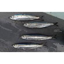 FISH LEMURU