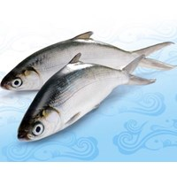 Milkfish Fish Supplier
