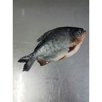 Ikan Bawal Tawar