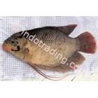 Ikan Gurame 1