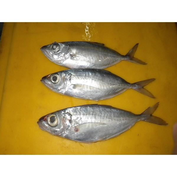 Ikan Kembung Bentrong