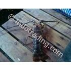Lobster PK 1
