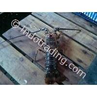 Lobster PK