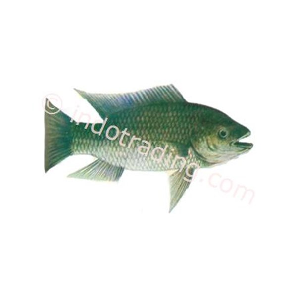 Fish Oreochromis Mossambicus