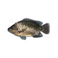 Fish Tilapia