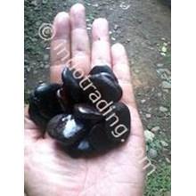 Benih Merbau (Intsia Bijuga)