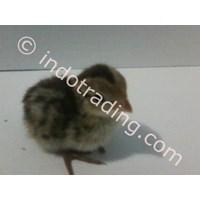 Distributor  Quail Breeding 3
