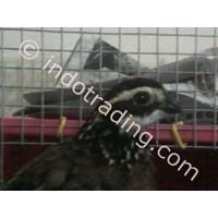Jual  Quail Breeding 2