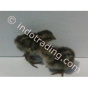 Quail Breeding